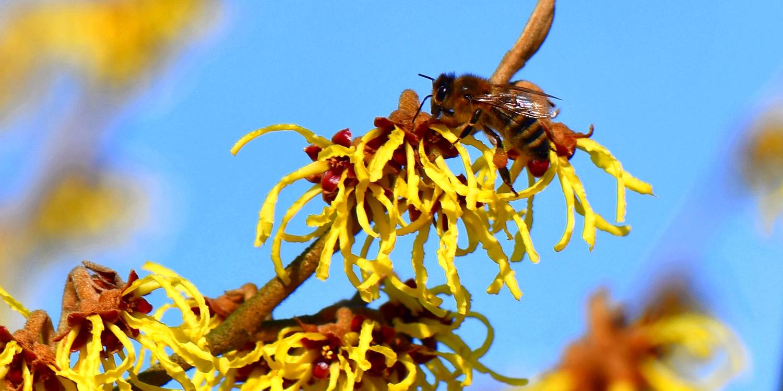 Honigbiene auf einer Zaubernuss (Foto: E. Mitwollen)